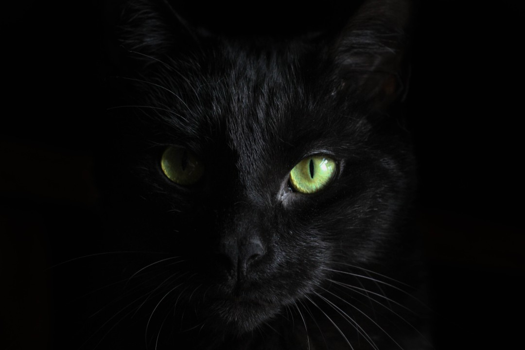 Close up picture of the face of a black cat