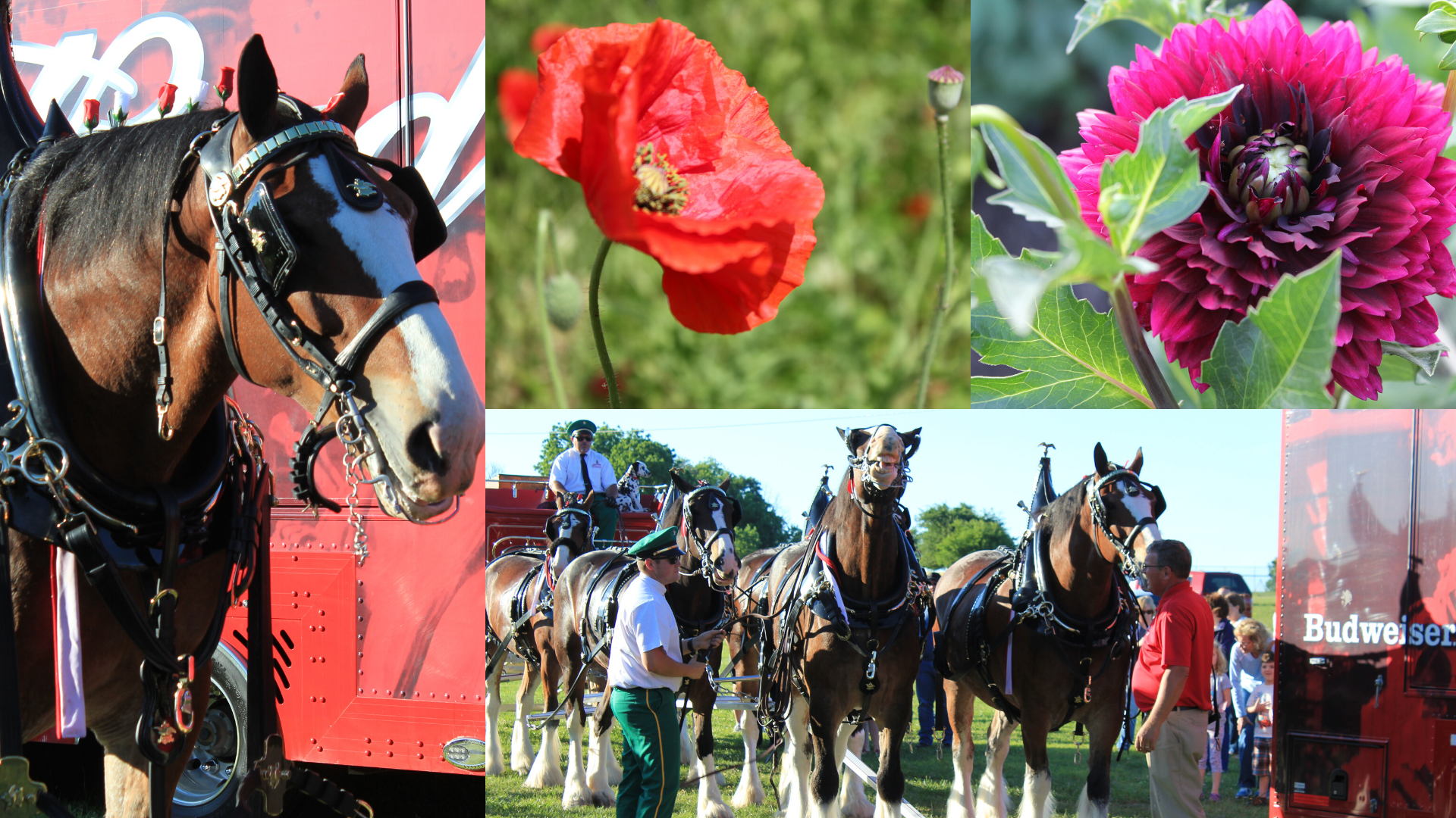 Collage pictures of flowers and horses
