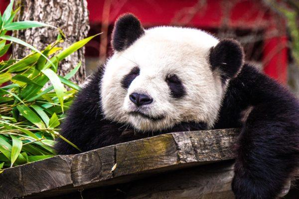 A panda bear resting on a wooden platform